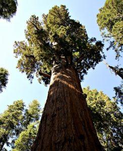 Grow Sequoia Backyard